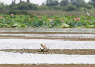 01-squacco-heron-and-lotus-6g7a7421