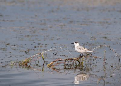 02-whiskered-tern-6g7a6943