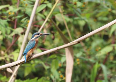 03-common-kingfisher-6g7a7468