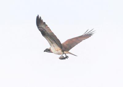 04-osprey-6g7a7209