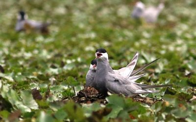 Numerous Whiskered Terns Breed in Sorkhankol