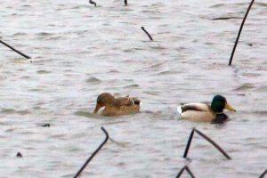 Winter Birds Covers to Selkeh Wildlife Refuge - anzali wetland