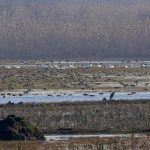 Winter Birds Covers to Selkeh Wildlife Refuge - anzali wetland